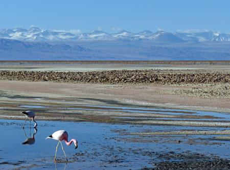 Flamingos in the Laguna Chaxa at the Salar de Atacama, Chile.
