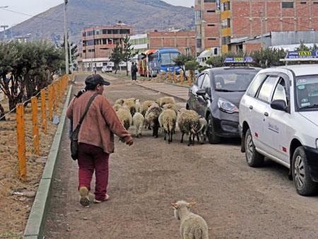 Herding sheep in the city. Puno, Peru.