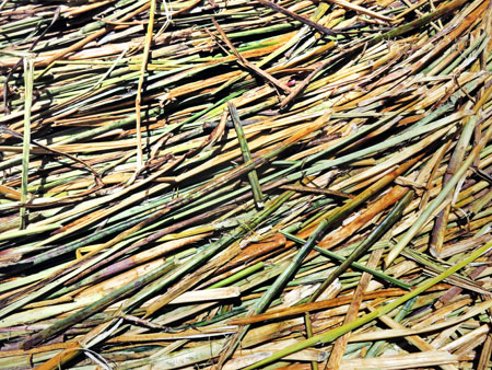 A close up of the totora reeds that form the soft, springy ground of the Uros Islands near Puno, Peru.