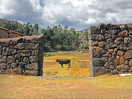 A bull and a stone wall at Raqchi in San Pedro, Peru.