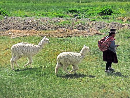 A woman walks llamas near Raqchi in San Pedro, Peru.